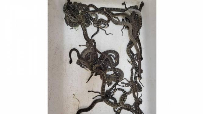 Akelige vondst: 90 giftige slangen ontdekt onder huis in VS