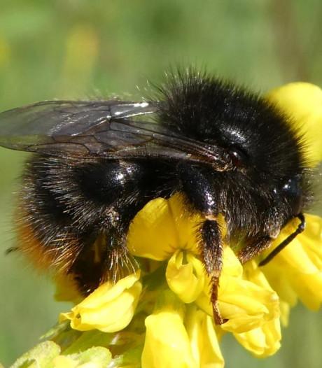 Zeldzame bijen in Zeeland in kaart