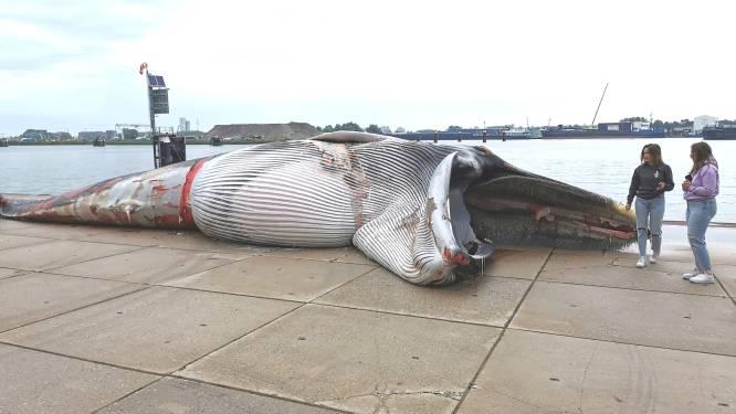 Dode walvis uit haven Terneuzen gehaald
