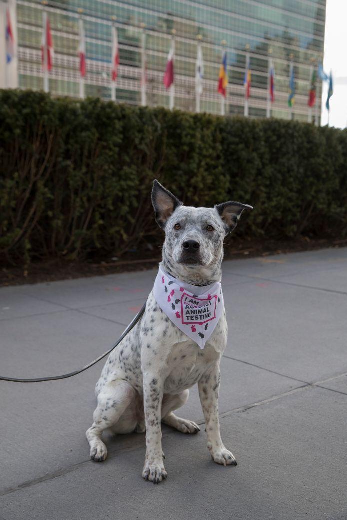 Een hond zit voor het hoofdkwartier van de Verenigde Naties als deel van een demonstratie tegen dierproeven en vivisectie. De foto werd eind vorige maand genomen.