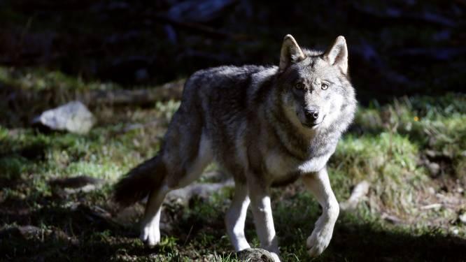 La présence d'un loup confirmée dans les Fagnes