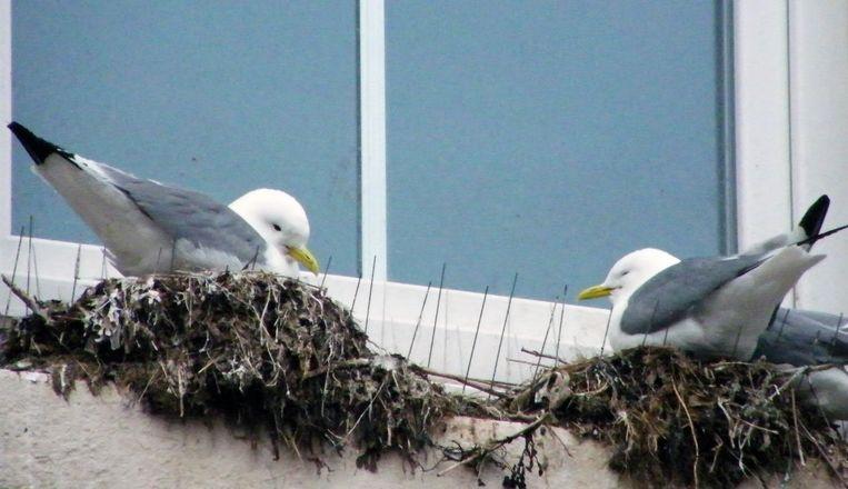 Meeuwen die broeden in Blankenberge, komen er niet noodzakelijk eten, waarschuwt Vogelbescherming Vlaanderen.