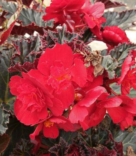 Probleemloze plant met kleurrijke bloemen? Denk aan de knolbegonia
