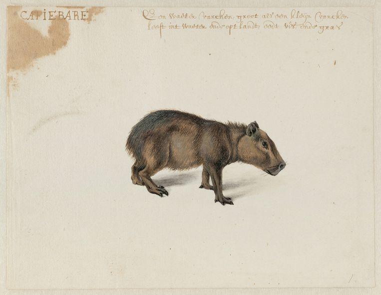 Tekening van een capibara door Frans Post Beeld null