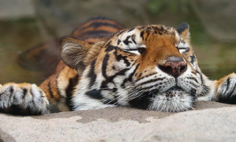 Bijzonder: tijger wordt beste vrienden met zijn prooi