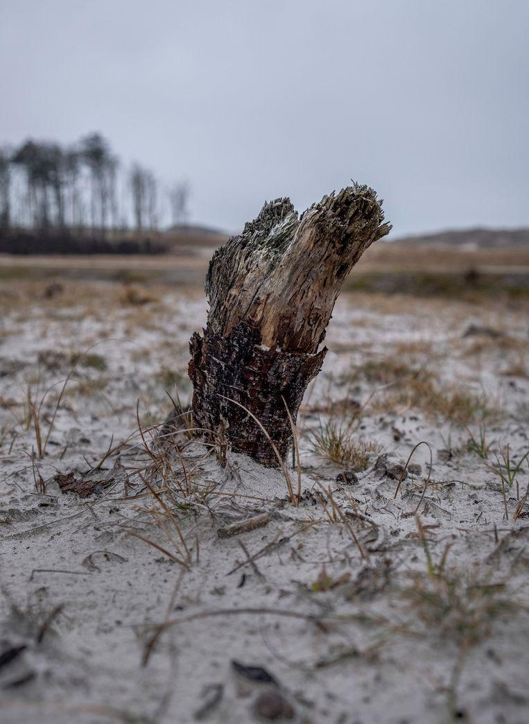 Bomen zijn vaak niet gewenst in het duingebied zoals hier tussen Schoorl en Groet. Beeld Patrick Post