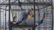 """""""Godmiljaar"""": maak kennis met Juleske, de vloekende papegaai"""