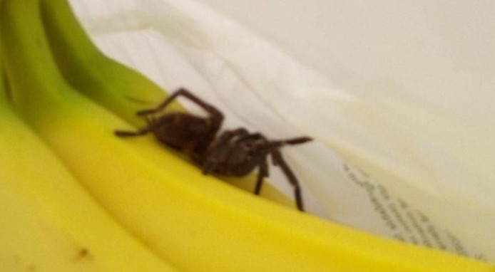 L'araignée a été écrasée par un agent de sécurité de la chaîne
