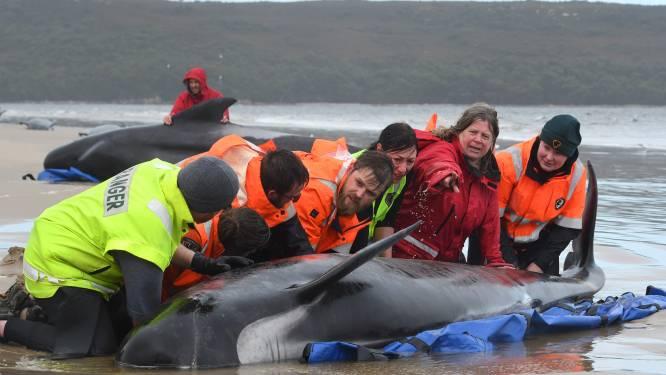 IN BEELD. Tientallen walvissen gered na massastranding in Australië, helaas komt voor veel dieren alle hulp te laat
