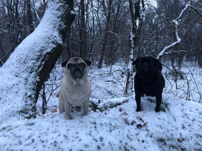 De hondjes moeten ook uitgelaten worden, dan maar een sneeuwwandeling.