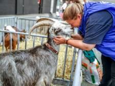 Geitenbeurs in Zwolle: de 'armeluiskoe' is helemaal hot