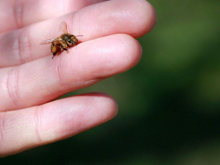 'Meer dan de helft van onze 350 soorten wilde bijen is bedreigd'