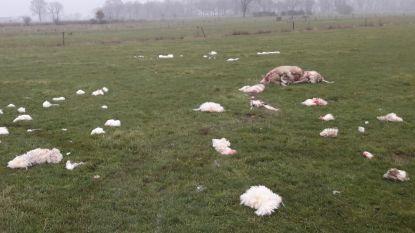 Na zoveelste 'wolvenkill': schapenhouders krijgen hulp bij afrasteren weilanden