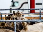 Nog eens 60 konikpaarden verhuizen uit de Oostvaardersplassen