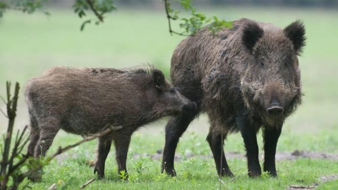 Boerenbond wil aantal everzwijnen in Vlaanderen terugdringen