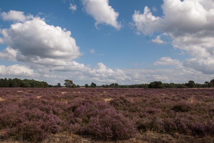 In de nazomer transformeert dit struikje grote oppervlakten van de Veluwe tot een eindeloos paars paradijs.