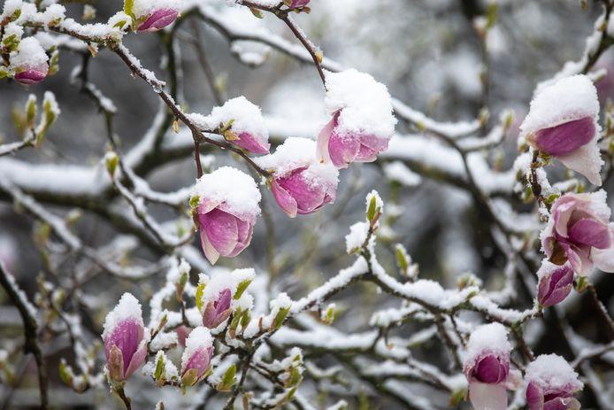 Rozen bedekt door een ijzig laagje sneeuw.