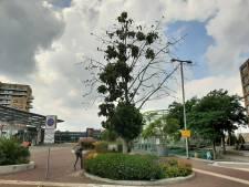 Einde voor Alphense stationsboom nabij: populier gaat langzaam dood