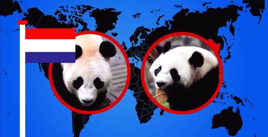 Panda's Wu Wen en Xing Ya zijn door China 'in bruikleen' gegeven aan Ouwehands.
