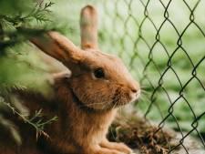 Geldboete voor Hilversumse fokker die 25 konijnen verwaarloosde