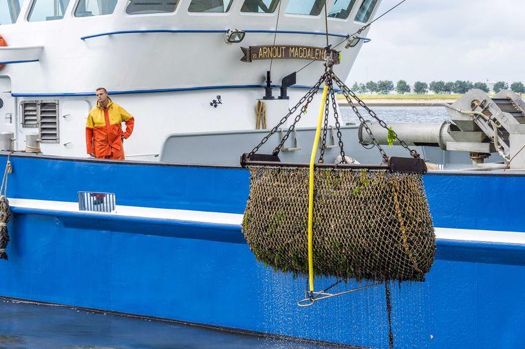 Mosselen worden op de Oosterschelde opgevist in juli dit jaar tijdens de seizoensstart van de Zeeuwse bodemcultuurmosselen.  Beeld ANP, Lex van Lieshout