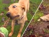 Hond vindt mammoettand uit ijstijd