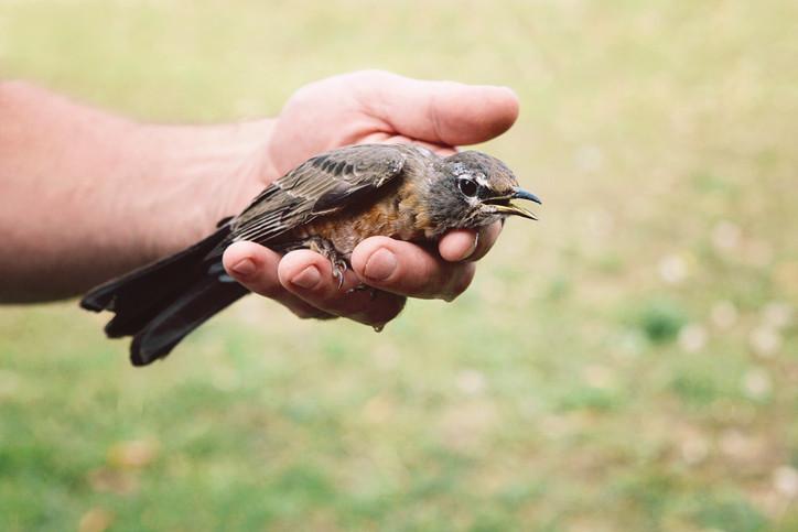 Oiseau blessé: on ne connaît que rarement les bons gestes