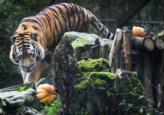 2020-10-27 10:28:59 AMERSFOORT - Een tijger in Dierenpark Amersfoort speelt met een pompoen. De dierentuin organiseerde het verrassingsmaal in het kader van Halloween. ANP PIROSCHA VAN DE WOUW