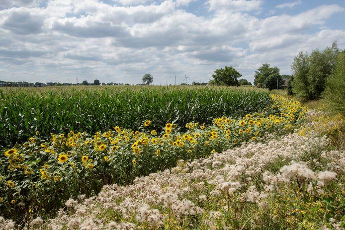 Langs de Meijerinkstraat in Eefde is een geel lint vol zonnebloemen ontstaan naast de maïsvelden.
