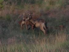 Veluws wolvenstel heeft zeker drie, maar mogelijk zelfs vijf welpjes geworpen