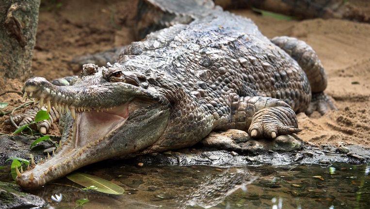 Ondanks het verbouwde verblijf werd de 51-jarige onechte gaviaal tot nu toe nog niet natuurlijk zwanger. Beeld Edwin Butter