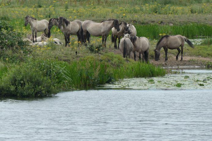 De konikpaarden bij de Ertveldpolder in Den Bosch.