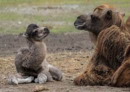Het pasgeboren kameeltje.