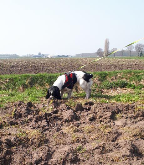 Drugshond Guus zoekt nu naar knolletjes in de grond; spaniël moet Peel bevrijden van hardnekkig onkruid