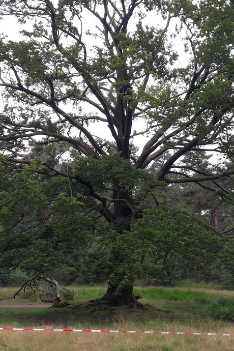 De bekendste boom van het Mastbos laat na 250 jaar het leven los