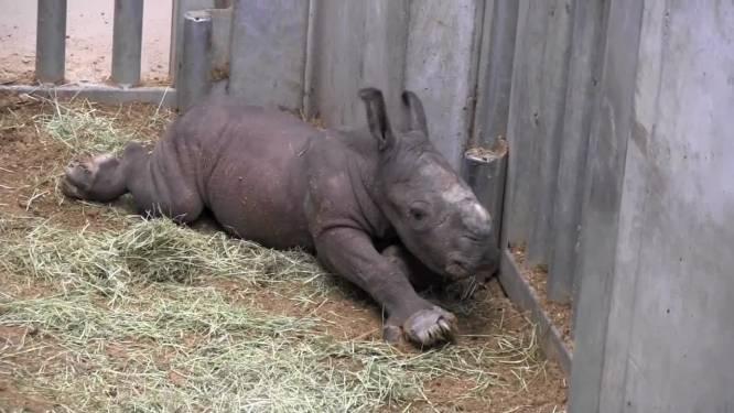Zeldzame beelden: geboorte witte neushoorn gefilmd in Pairi Daiza