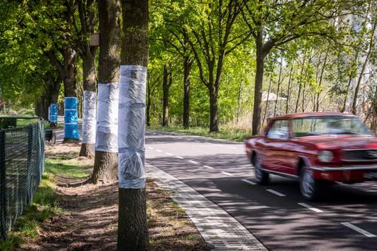 Bestrijding van de processierups op de Sonseweg in Lieshout door middel van plastic folie om de boomstam.