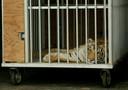 De Bengaalse tijger India