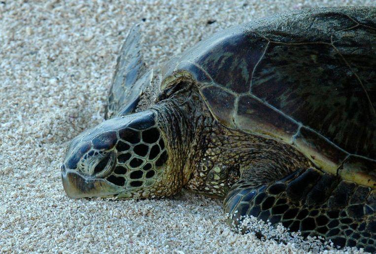 Vluchten liepen tot anderhalf uur vertraging op vanwege 78 schildpadden. Foto AP Beeld