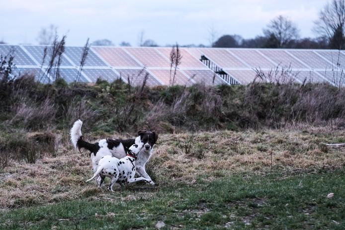 Spelende honden in het solarpark in Hengelo (Gld). Alliander waarschuwt dat er stroomfiles op het elektriciteitsnet ontstaan als er onbeperkt zonneparken bijgebouwd blijven worden.
