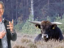 Liever één tauros naast het fietspad dan duizend domme koeien op de Dam