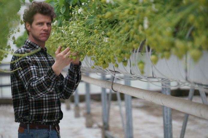 Steve Schrijvers tussen de aardbeienplanten. Nu zijn ze nog groen, maar heel lang gaat het niet meer duren voor ze oogstrijp zijn.