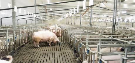 Minister verslikt zich weer in stikstofmaatregel: opkopen varkensbedrijven levert veel minder op