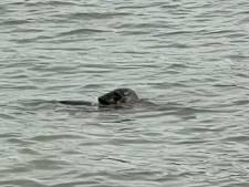Avontuurlijke zeehond zwemt rond in Rotterdam en knabbelt aan joekel van meerval