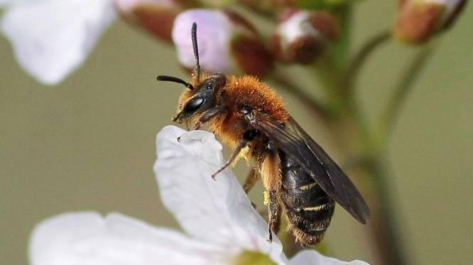 Nieuwe bijensoorten vinden alsmaar makkelijker de weg naar ons land