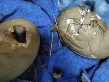 Woede om vernielde zwaneneieren in Lelystad: 'Je ziet het verdriet bij de zwanen'