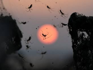 """Spin die andere spinnen eet, is """"Europese spin van het jaar"""""""