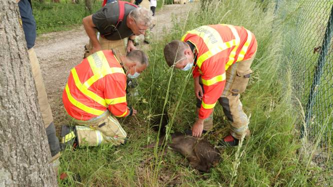 Brandweer rukt uit voor kleine ree in nood, maar diertje overleeft het niet