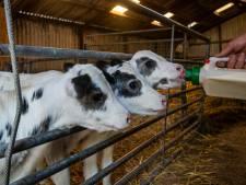 Koe deelt mee in feestvreugde Oldebroeks boerenpaar en werpt unieke drieling