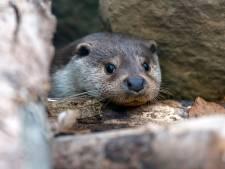 De otterspeurclub kan blijdschap niet op: Hoera! De otter is terug, dna gevonden nabij Vinkeveen